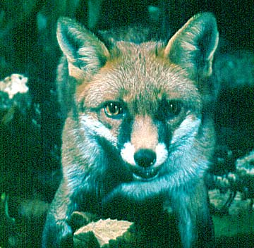 Ecology: A Fox in the wildrness, Ted Breeze Jones